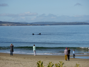 Southern right whale frolicking metres from shore at Blackmans Bay.