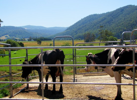 The cows enjoy the valley views post milking.